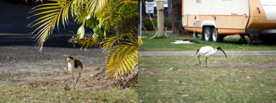 Oiseaux dans des campings australiens