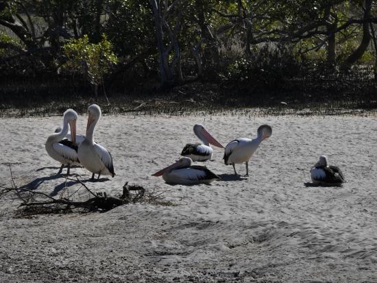 Pélicans à Port-Macquarie