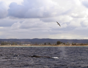 Migration baleine à bosse au large de Sydney