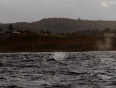 Baleine à bosse au large de Sydney
