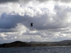 Oiseau volant au large de Sydney